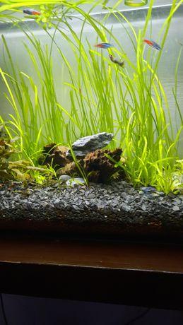 Nurzaniec trawa akwariowa