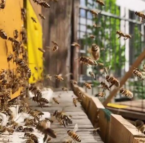 Пчелопакеты Харьковская обл. Пчелы украинской степной породы 2020