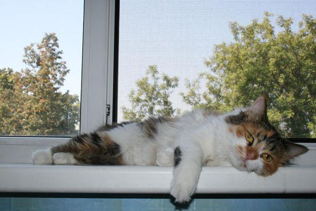 Отдам пушистого котёнка Трехцветку 9 месяцев, стерилизована