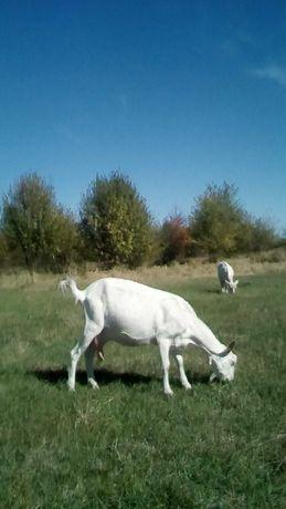 Коза чисто біла першокотка