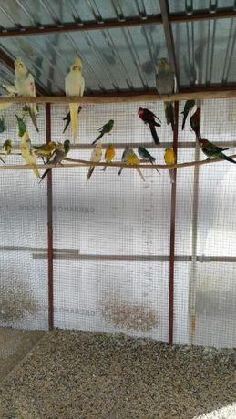 Розелла стенли,ожерелки,карелы,кенаря,певчие попугаи