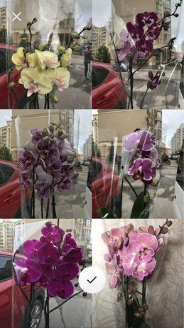 Красивые орхидеи,фаленопсис 1-2 ст. Дикий кот
