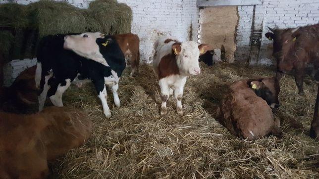 Byczki opas do dalszej hodowli