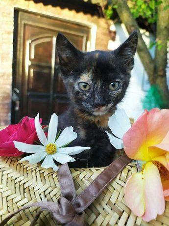 Котенок метис ориентальной кошки,только в самые лучшие руки