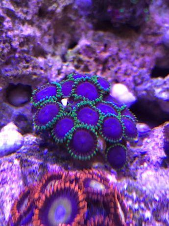 Zoa Joker, koralowce miękkie, morskie