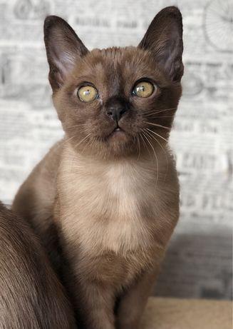 Котёнок Бурма, Бурманская кошка, кошечка девочка