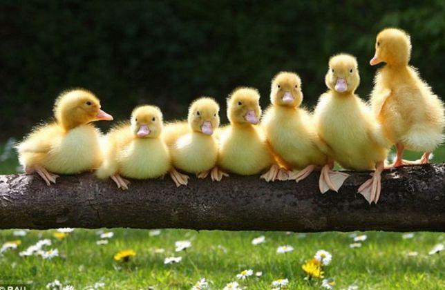 Цыплята Волчанск утята гусята муларды бройлеры комбикорм подросток