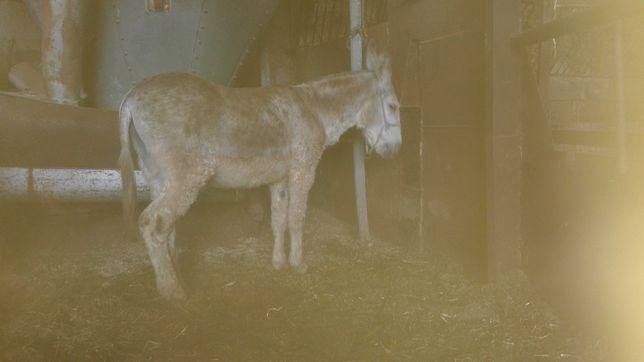 8 burros novos mansos