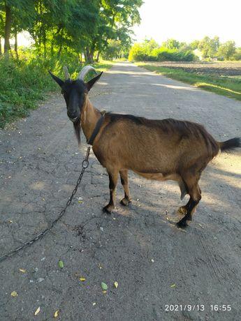 Срочно!!! Продам отличную козу.