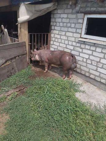 Кнур Пьетрен (PIC)90-110кг(поросята свиньи хряк)