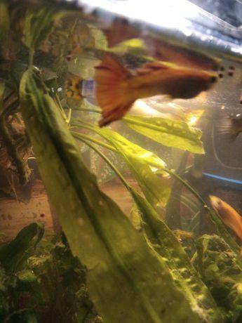Sprzedam rybki gupiki dorosle duze