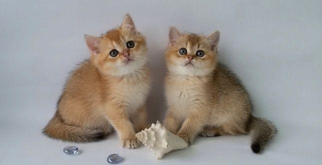Есть выбор котят тикированная золотая шиншилла, котики и кошеч