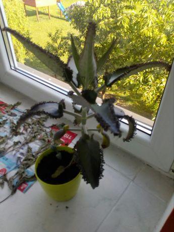 Żyworódka kwiatek domowy leczniczy,duży wysokość 30cm