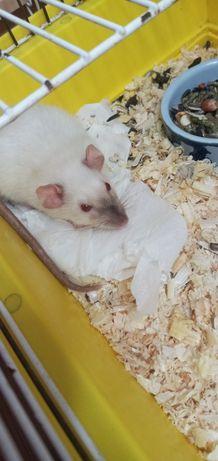Крысёнок Дамбо Альбинос