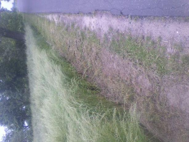 nasiona traw pastwiskowych