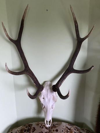 Poroże jelen osmak stan idealny