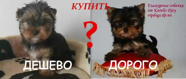 Купить щенка чистокровного или просто похожую собачку?