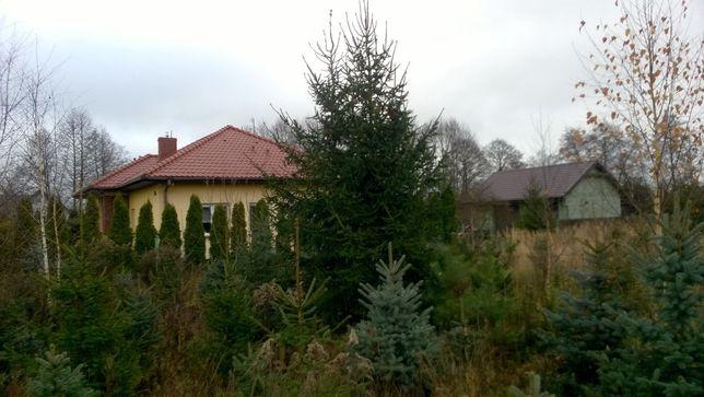 Świerk Świerki Choinki Drzewka Świąteczne Plantacja Wronki hurt detal