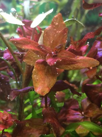 Большой выбор Аквариумных растений Наборы Креветки Хелена Рыбки