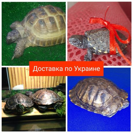 Черепаха (черепахи) красноухая, европейская, сухопутная. Доставка