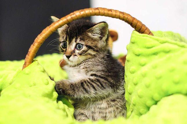 Милий красень Камишенок, хлопчик кошеня 2 міс, кіт кошка кот