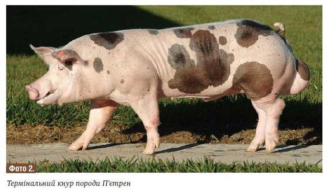 Штучне осіменіння свиней, та спермопродукція.
