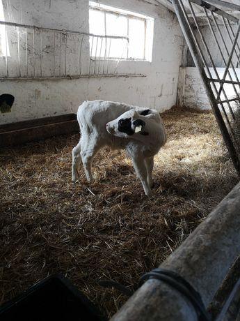 Sprzedam cielęta byczki jalówki