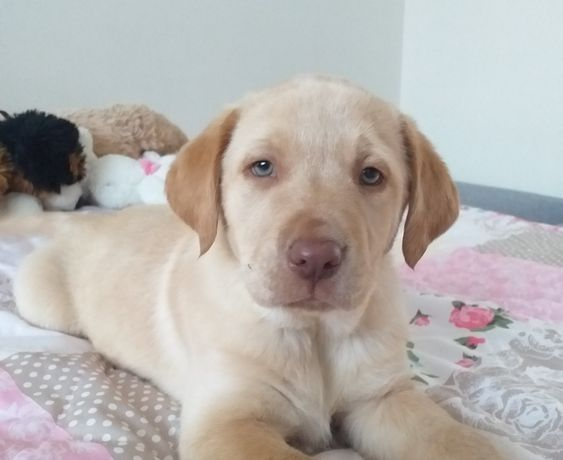 Labrador szczeniak piesek