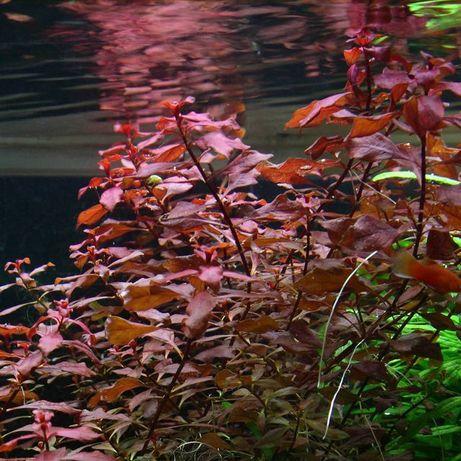 Ludwigia Super Mini Red (Ludwigia palustris)