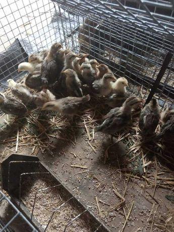 Kurczaki zielononóżki