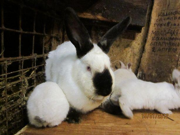Кролики , есть малыши и молодые половозрелые готовые к паровке самцы и