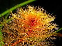 Myriophyllum Tuberculatum - PIĘKNOŚĆ