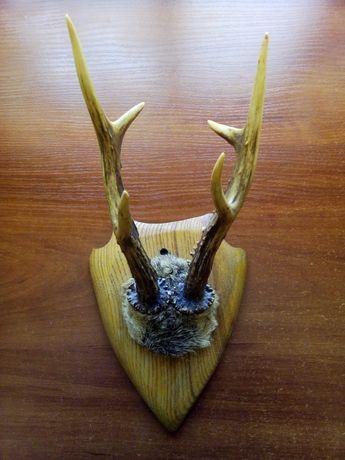 Рога косули трофей охота охотничий