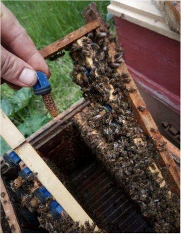 Карпатка Вучковская. Матка пчелиная. Карпатська порода Плодная