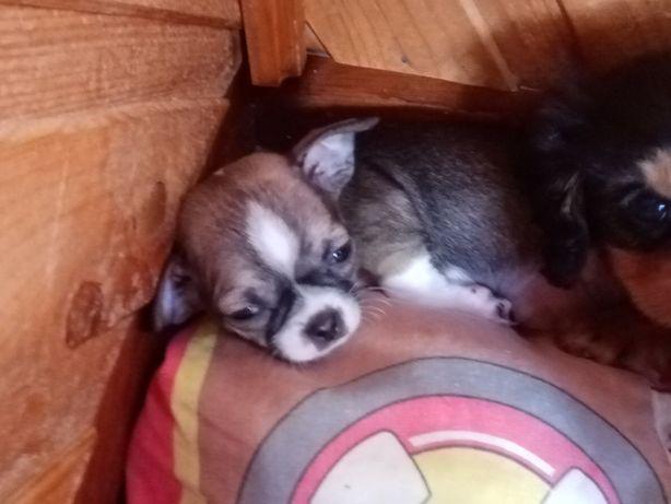 Chihuahua -mini PIESKI
