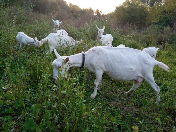 Продаю зааненські кози
