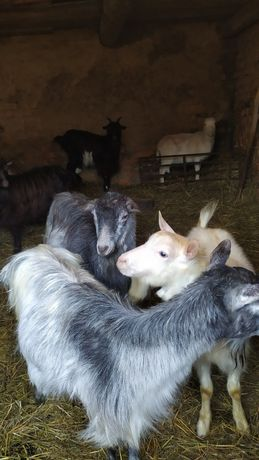 Продам стадо кіз з козенятами,також є гарні козлики для парування.
