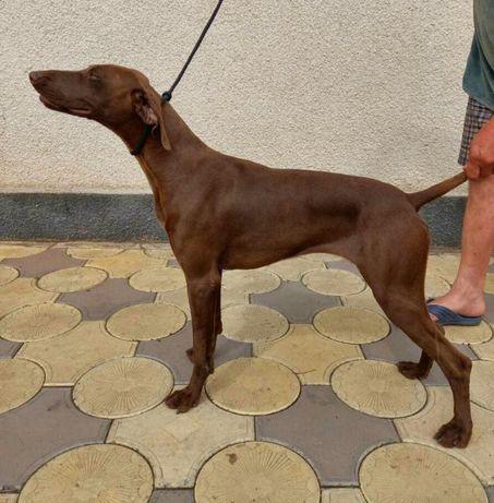 продам діпломіровану собаку німецька короткошерста лягава
