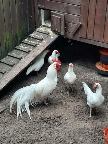 Onagadori białe kurczęta , jaja lęgowe