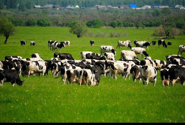 Krowy  z Likwidacji stada z Słowacji dostawa