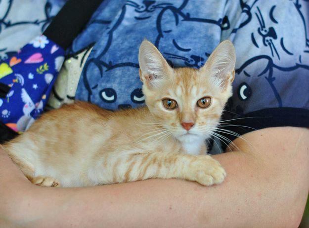 Маленькая чудо-кошка Лейла (3 месяца, котенок) ищет дом!
