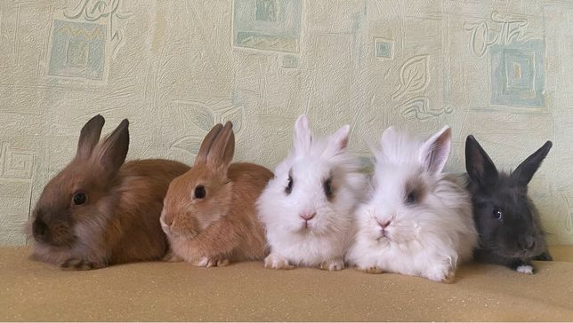 Красивенные декоративные торчеухие кролики, львиноголовые, длинники
