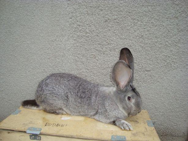 królik srebrny samica zakocona belgijska belg olbrzym