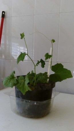 Sementes, luffas e plantas de lufa (lufa, bucha esponja vegetal)