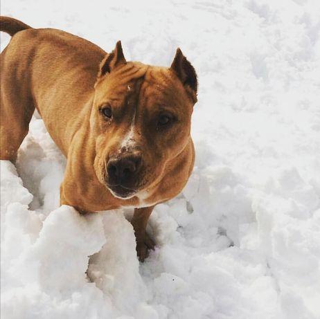 Пропоную для вязки двох собак пітбуля (реднаус) (КОБЕЛІ)