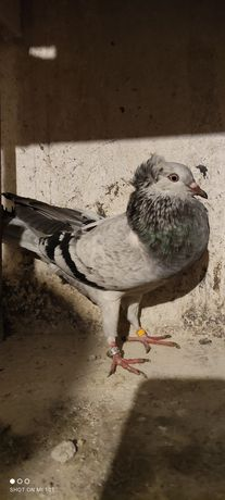 Sprzedam gołębia garłacza koroniastego górnośląskiego samice