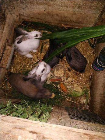 Продам     кроликів