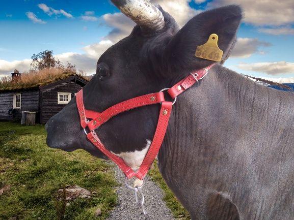 недоуздок оброть корові бику джерсі голштинська