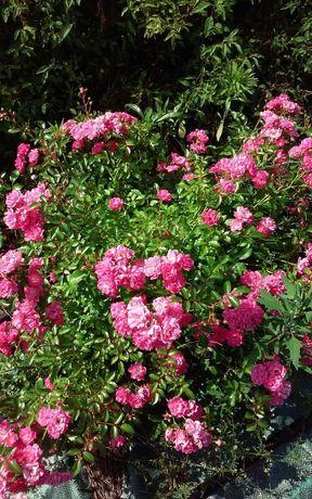 Продам почвопокровные розы