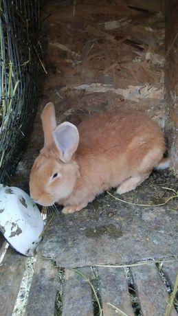 Кролики породы Бургундии , Бургундия, бургундский кролик